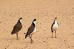 spur-winged plover, birds, maroubra