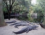 alligators, sunning, resting