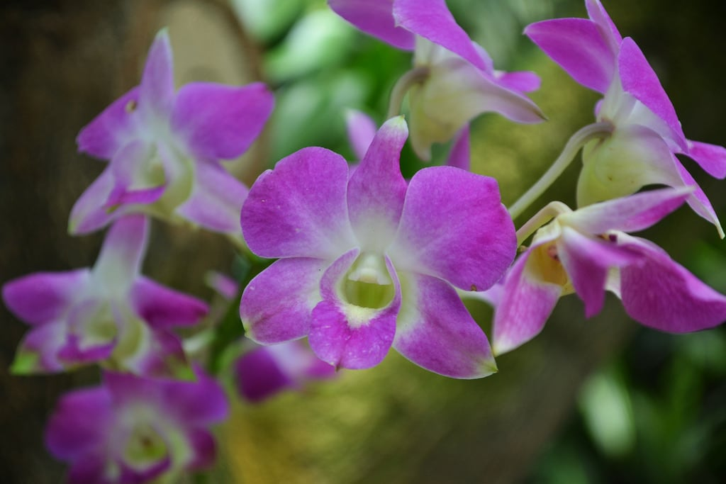 Εικόνα από Bogor's Botanical Garden. orchid garden indonesia botanical java orchidaceae orchidee bogor botanische tuinen