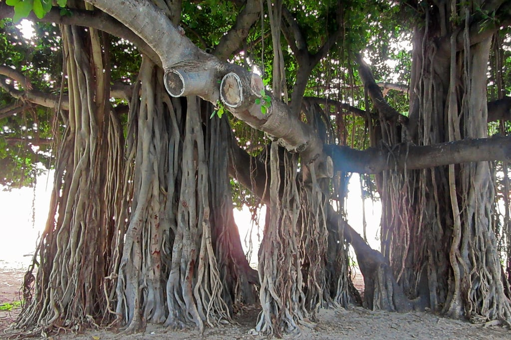 Bild av Queen's Surf Beach. plant tree vacation waikikibeach honolulu oahu hawaii unitedstates usa
