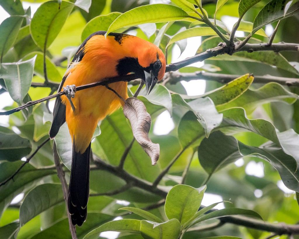 תמונה של Chichen Itzá ליד San Felipe Nuevo. altamiraoriole bird birds chichénitzá mexico oriole yucatan icterusgularis