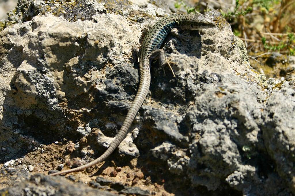 Изображение Skaros вблизи Firá. lizard santorini greece skaros
