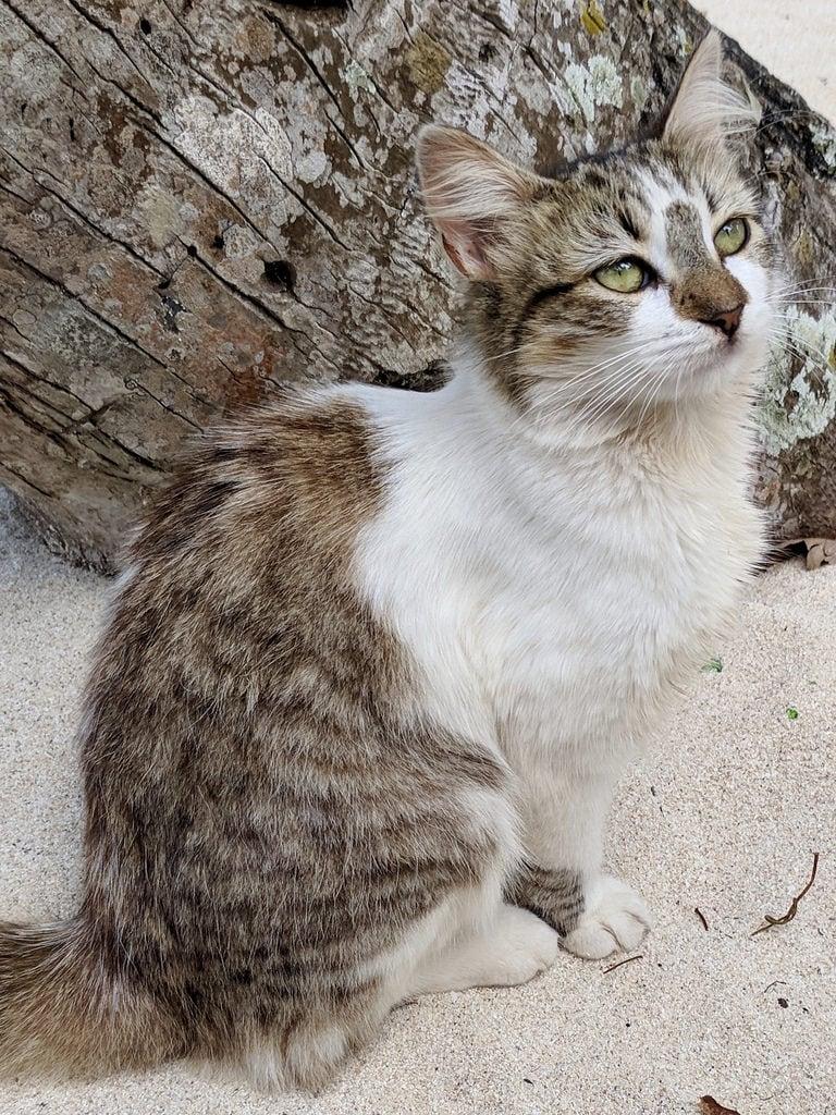 Imagen de Las Galeras. cat stray beach sand tree animal cute lasgaleras dr samana dominicanrepublic caribbean