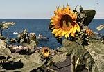 Zdjęcie:   Hiszpania  Wyspy Kanaryjskie  Lanzarote  Playa Blanca  (słonecznik, beach, lanzarote)