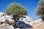 Zdjęcie:   Grecja  Thassos  Pefkari  (thassos, limenas, drzewo oliwne)